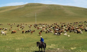 china-travel-inner-mongolia-keshiketeng-arshatu-geopark-cattle-photo3-kakanow-com_-500x359.jpg